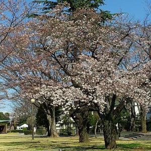 う~む・・・3部咲きかなぁ  @前橋公園の桜