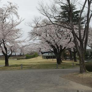 雨で散る前に、桜見  @前橋公園