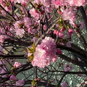 毎年桜は咲くよ〜!まず命を守る行動を!