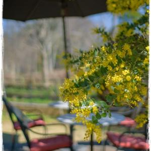 ミモザの花咲くカフェ。