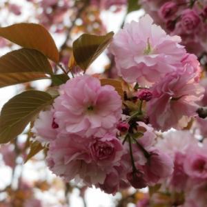 中止の大阪造幣局・桜の通り抜けの今