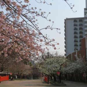平成31年 造幣局の桜(2019/04/06)