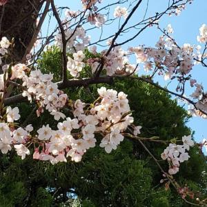 「桜撮影会」中止となりました。