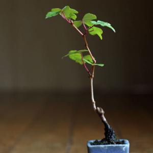 小さいノブドウ