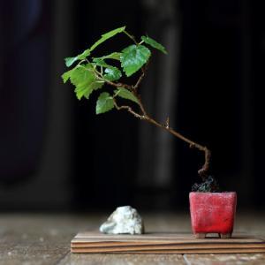 クワとか最近の盆栽の様子とか。