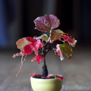 ナツヅタの紅葉 2018
