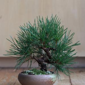 今年も黒松の芽切り。