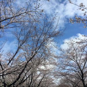 小幡緑地西園の桜並木