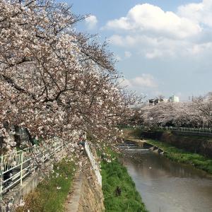 長久手古戦場公園の桜と再び香流川