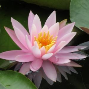 蓮の花 (花博記念公園)