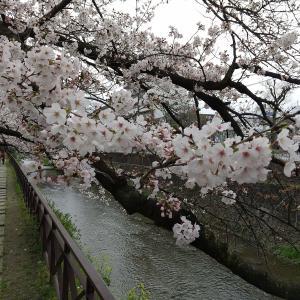京都市右京区 天神川沿いの桜