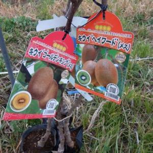 果樹の定植(キウイフルーツ)