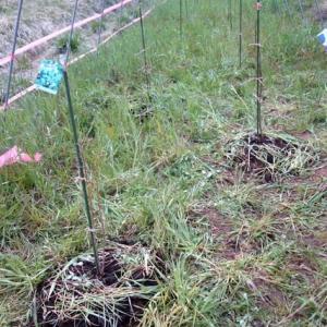 ブルーベリーの定植