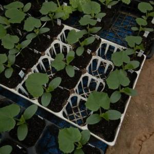 超農繁期の夏野菜育苗ハウス(野菜&水稲の育苗最終調整&春の田作り、春野菜のお世話&夏野菜の定植準備、草刈り)