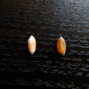梅雨の小麦刈り