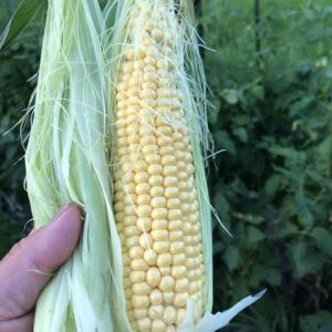 固定種トウモロコシ「モチットコーン」豊作&獣害対策