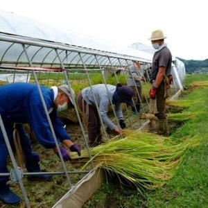 自然菜園スクール「自然稲作ベーシックコース」での稲刈り&天日干し