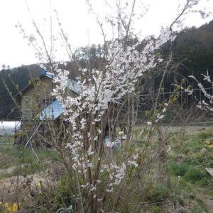 ようやく桜満開、ジャガイモ、ネギ植え終わり
