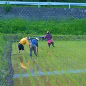 【一般無料版】自然菜園スクール『自然稲作コース』チェーン除草&ボカシ造り テーマ:「抑草と除草」