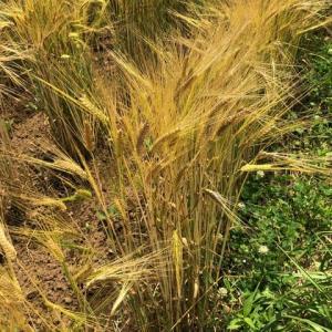 梅雨の晴れ間を利用しての大麦の刈り取り(大豆混作中~)