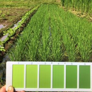 田んぼの「中干し一歩の水管理」と梅雨の晴れ間を利用しての「ムギのタネ乾燥」