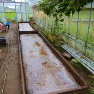 梅雨の野良仕事「踏み込み温床の太陽養生処理」、晴れ間の小麦の脱穀