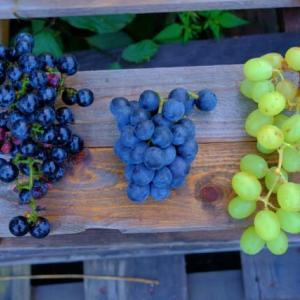 【一般無料ブログ】自然菜園スクール『自然果樹コース』講義:自然果樹講座④(剪定) 実習:無農薬リンゴ・ブドウの収穫、ジュースづくりなど