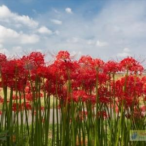 見沼代用水東縁の彼岸花(パート2)