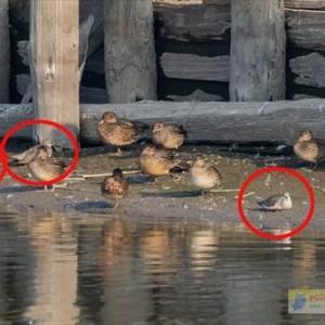 台風前の沼の鳥たち(ツルシギ)