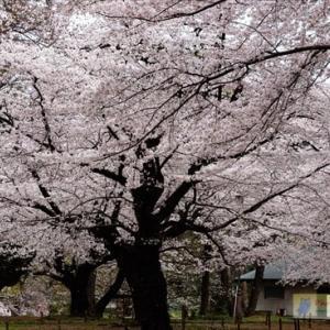大宮公園の桜2020