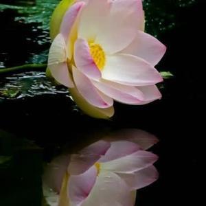白い蓮の花?
