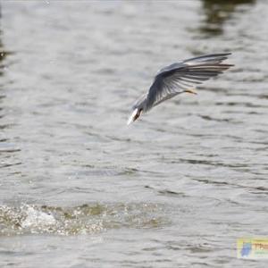 コアジサシのダイビング2