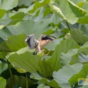 古代蓮の上を飛ぶヨシゴイ