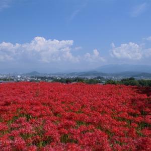 九品寺・伏見の溜池の彼岸花が咲きました!