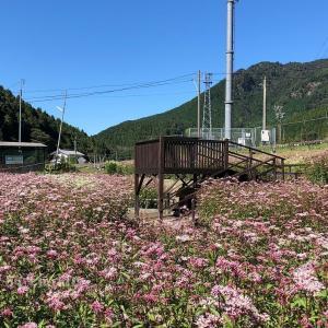 太郎生のアサギマダラとフジバカマ園