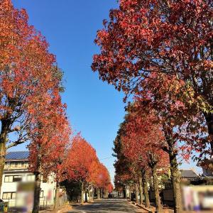 真っ赤な紅葉葉楓の並木道