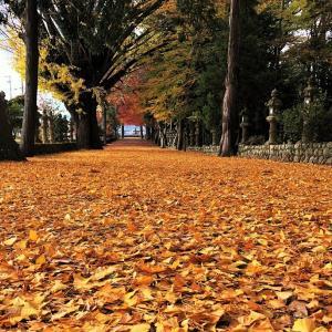 積田神社の銀杏参道
