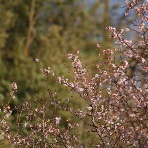 冬に咲く十月桜