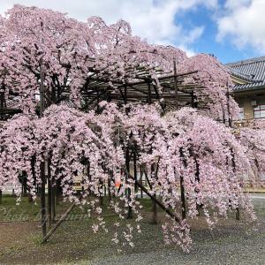 天理・別席場の枝垂れ桜 🌸2020