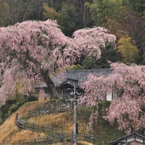 小原の極楽桜 🌸2020