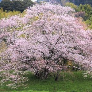 天理・幾坂池の桜 🌸2020
