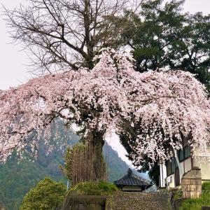 室生三本松・長命寺の枝垂れ桜 🌸2020