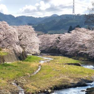 和束町・祝橋の桜並木 🌸2020