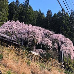 西願寺の枝垂れ桜 🌸2020