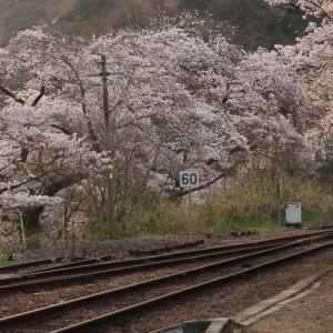 JR笠置駅の桜 🌸2020