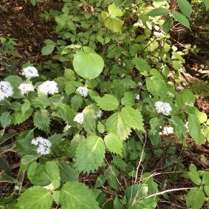 山添村のコアジサイ(小紫陽花)