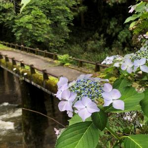 山添村的野の紫陽花