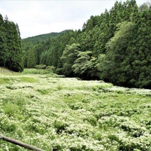 御杖村神末・岡田の谷の半夏生園