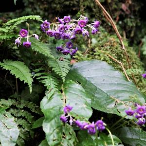 龍鎮の滝とイワタバコの花