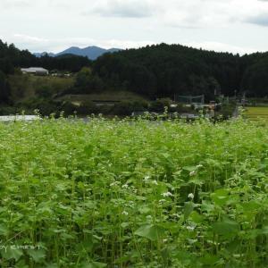 笠・蕎麦の花が咲き出した!
